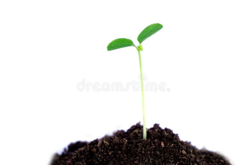 在白色被隔绝的土壤的发光的绿色植物 免版税库存照片