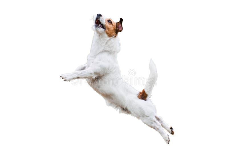 在白色跳跃和飞行的狗狗高 免版税库存图片