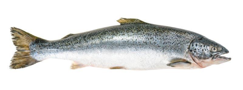 在白色隔绝的三文鱼鱼,不用阴影 图库摄影