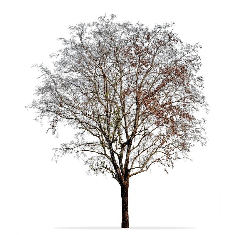 在白色隔绝的不生叶的树照片 库存图片