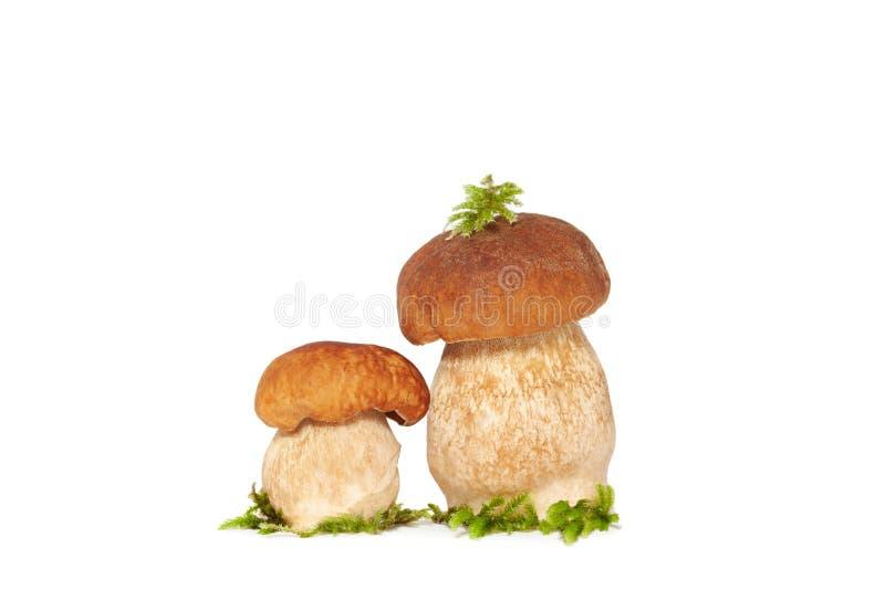 在白色隔绝的两个森林国王牛肝菌蕈类蘑菇 库存照片