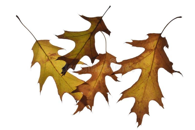 在白色隔绝的五片橡木叶子 图库摄影