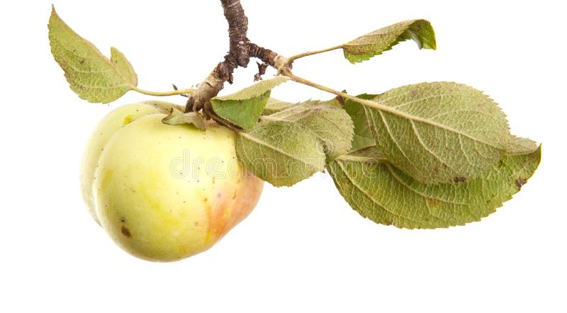 在白色隔绝的分支的成熟苹果 免版税库存图片