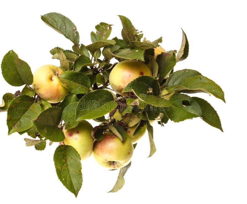 在白色隔绝的分支的成熟苹果 库存图片