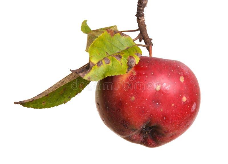 在白色隔绝的分支的成熟苹果 库存照片