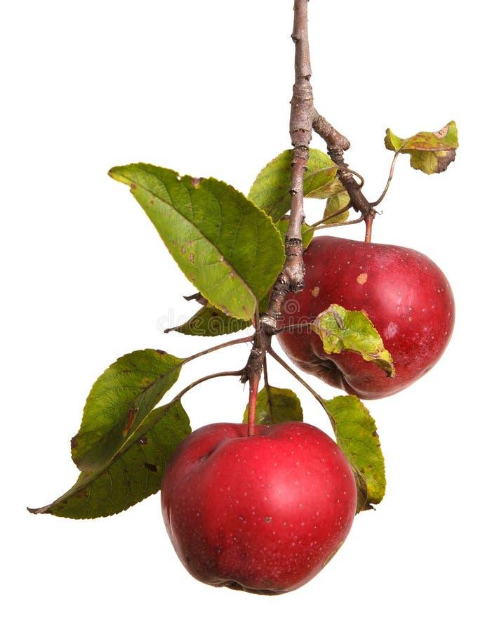 在白色隔绝的分支的成熟苹果 免版税库存照片