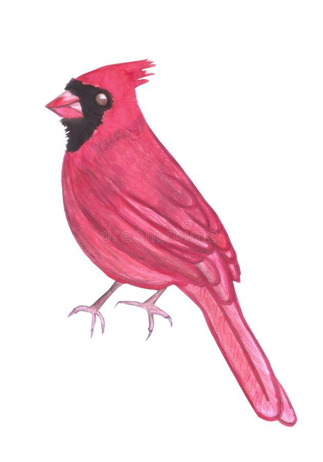 在白色隔绝的北主要或Cardinalis cardinalis 库存例证
