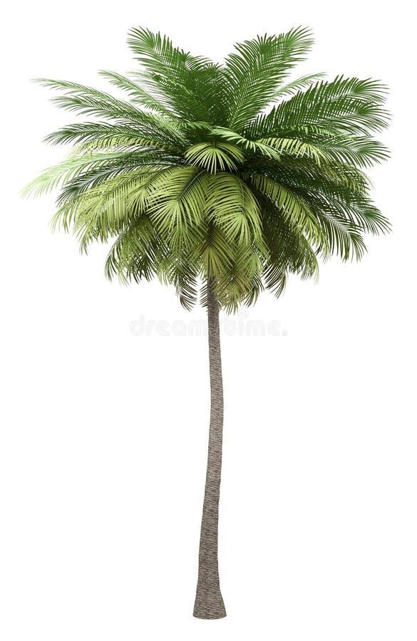 在白色隔绝的可可椰子树 皇族释放例证