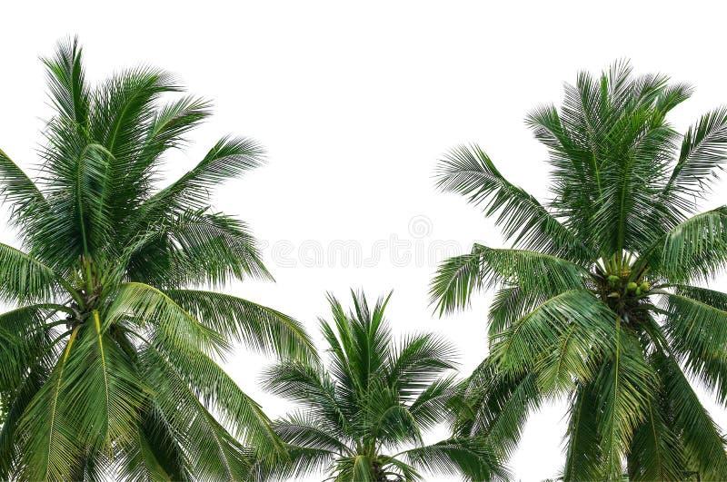 在白色隔绝的可可椰子树 免版税库存图片
