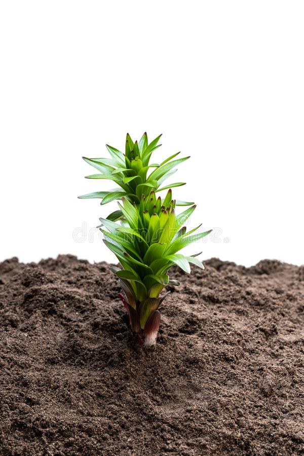 在白色隔绝的土壤的小的百合花新芽 免版税库存照片