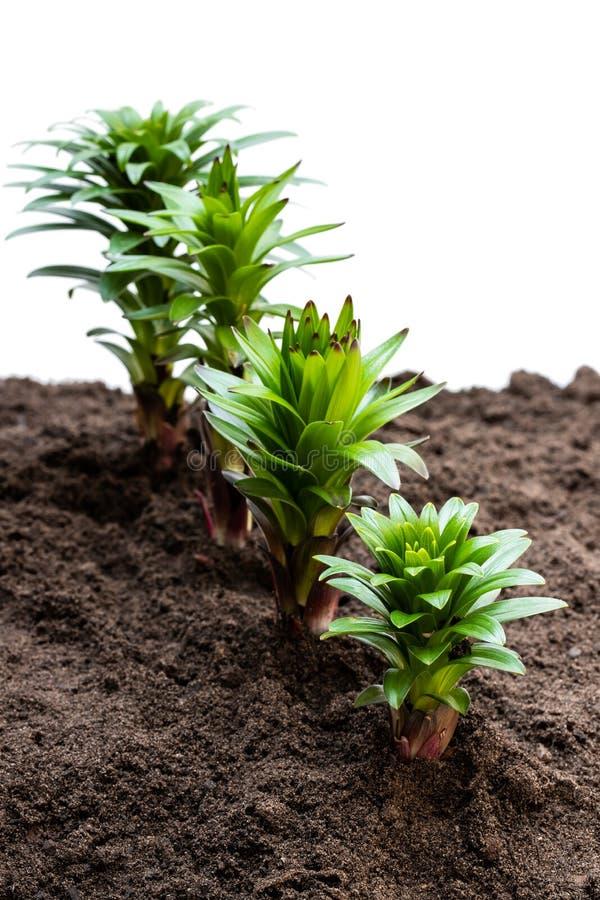 在白色隔绝的土壤的小的百合花新芽 免版税图库摄影