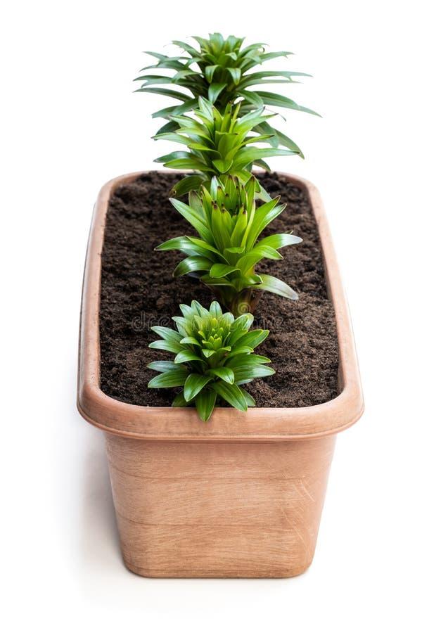在白色隔绝的庭院罐的小的百合花新芽 库存图片
