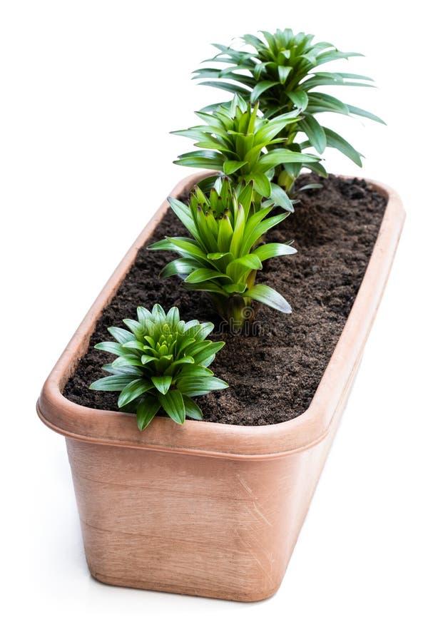 在白色隔绝的庭院罐的小的百合花新芽 免版税库存照片