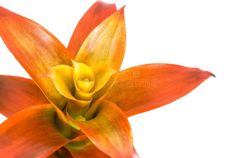 在白色隔绝的开花的橙色bromeliad花关闭 库存照片