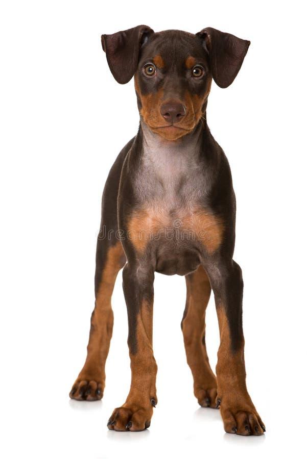 在白色隔绝的德国短毛猎犬小狗身分 免版税库存照片