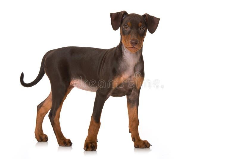 在白色隔绝的德国短毛猎犬小狗身分 图库摄影
