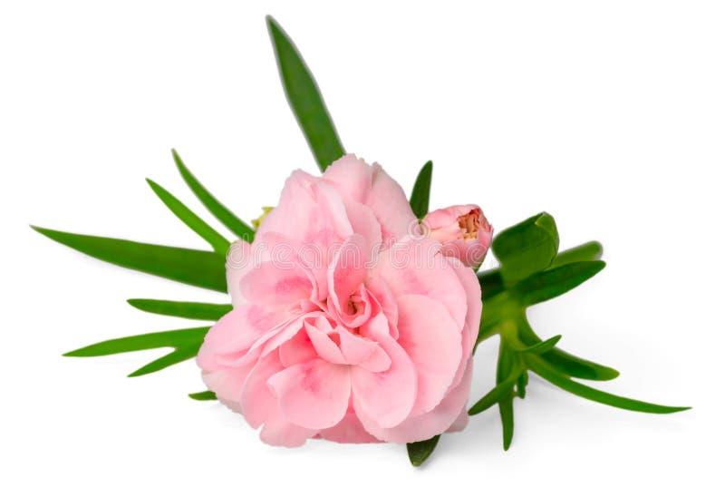 在白色隔绝的新鲜的桃红色康乃馨花 库存图片