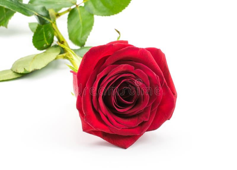 在白色隔绝的新鲜的玫瑰色花 库存图片
