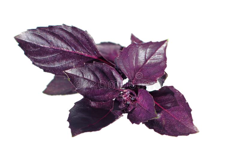 在白色隔绝的新鲜的紫罗兰色蓬蒿 免版税图库摄影