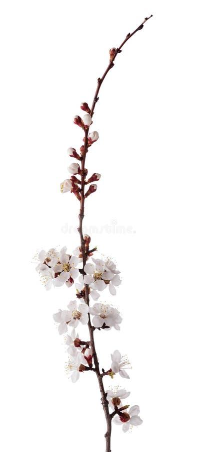 在白色隔绝的杏子小开花的小树枝 免版税库存照片