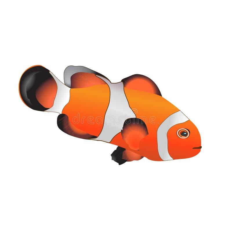 在白色隔绝的橙色anemonefish 热带礁石鱼- 向量例证