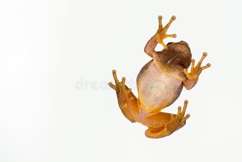 在白色隔绝的欧洲绿色雨蛙雨蛙arborea 底视图 免版税库存照片