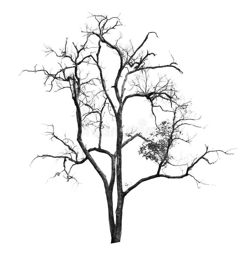 在白色隔绝的死和干燥树 库存照片