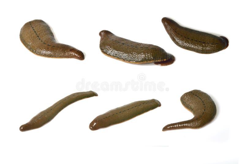 在白色隔绝的水蛭 免版税库存图片