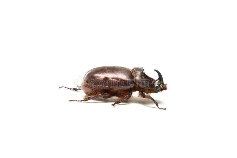 在白色隔绝的犀牛甲虫 库存图片