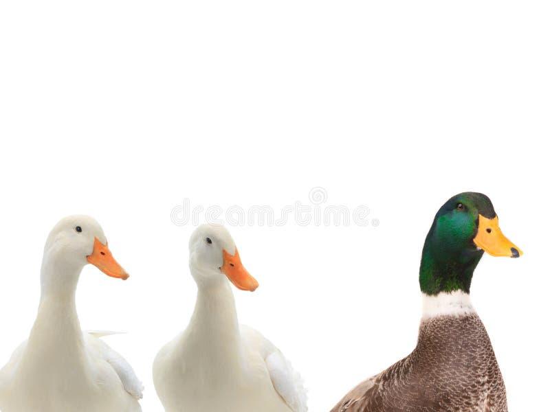 在白色隔绝的画象三鸭子 库存图片