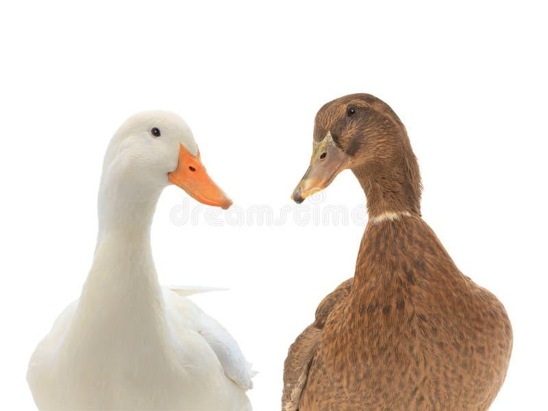 在白色隔绝的画象两鸭子 免版税库存照片