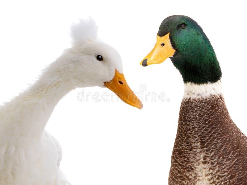 在白色隔绝的画象两鸭子 库存照片
