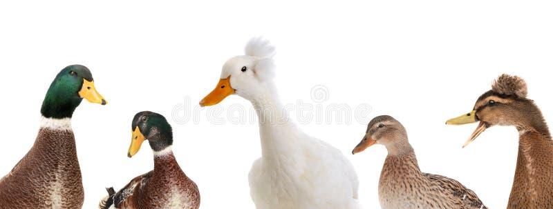 在白色隔绝的画象五鸭子 免版税库存照片