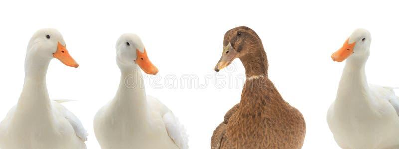 在白色隔绝的画象四鸭子 图库摄影
