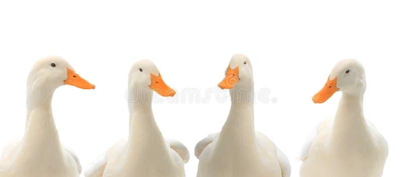 在白色隔绝的画象四鸭子 库存照片