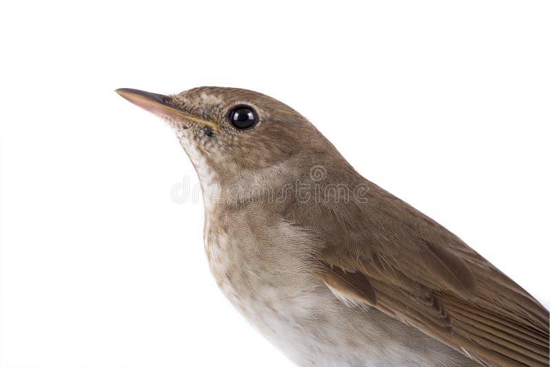 在白色隔绝的画象夜莺 免版税库存图片