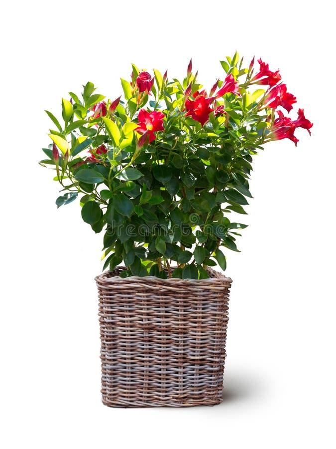 在白色隔绝的篮子的开花的mandevilla sanderi 库存图片