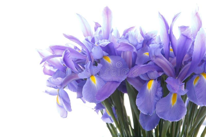 在白色隔绝的紫罗兰色虹膜关闭 免版税库存照片