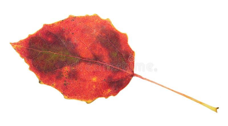 在白色隔绝的红色秋天白杨木叶子 库存照片