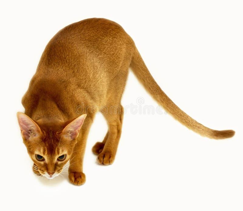 在白色隔绝的纯血统埃塞俄比亚猫 免版税库存图片