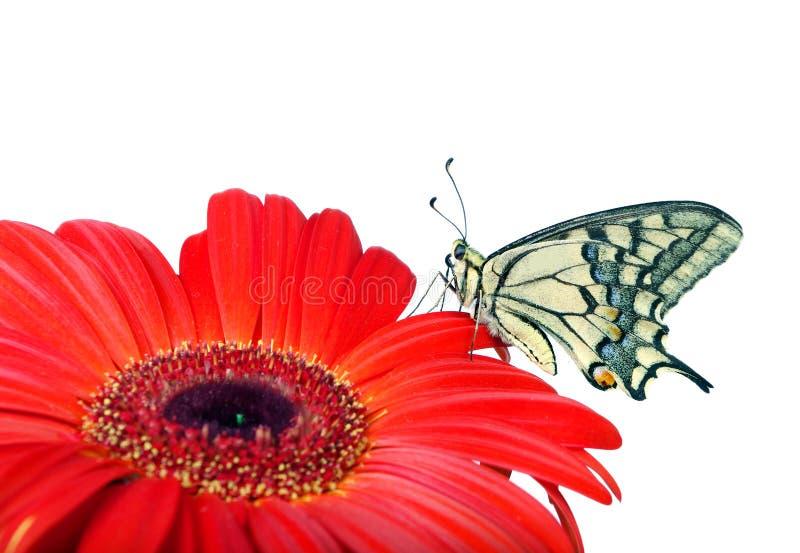在白色隔绝的花的蝴蝶 快速花开花大丁草gerbers生活爱宏观乐趣太阳 Swallowtail蝴蝶, Papilio machaon 免版税库存图片
