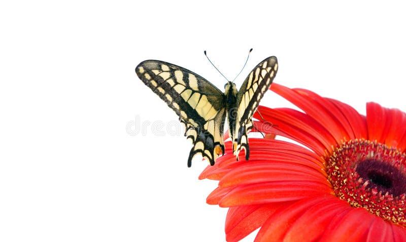 在白色隔绝的花的蝴蝶 快速花开花大丁草gerbers生活爱宏观乐趣太阳 Swallowtail蝴蝶, Papilio machaon 库存照片