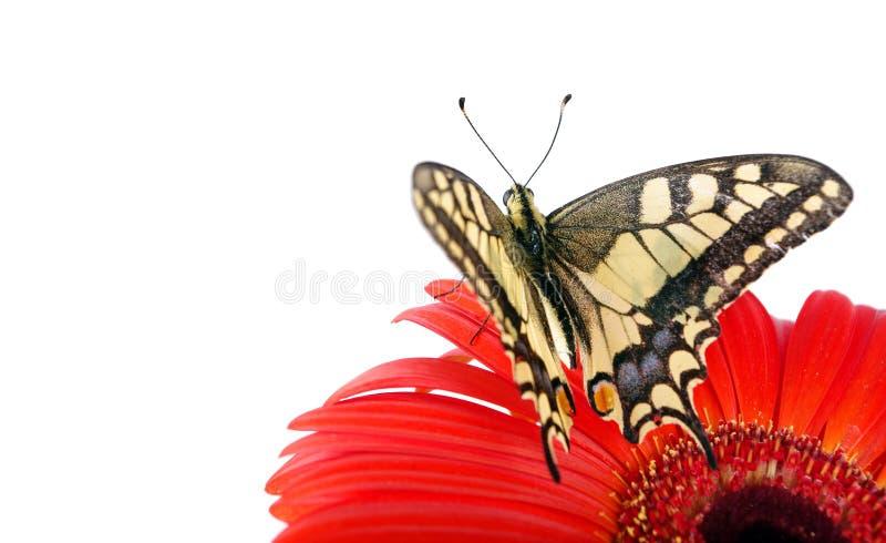 在白色隔绝的花的蝴蝶 快速花开花大丁草gerbers生活爱宏观乐趣太阳 Swallowtail蝴蝶, Papilio machaon 免版税图库摄影
