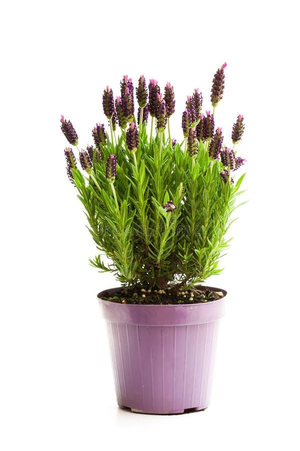 在白色隔绝的花盆的淡紫色灌木 库存图片