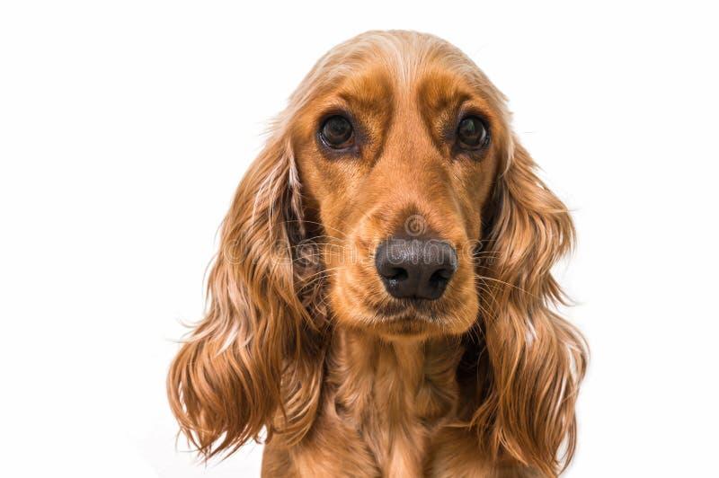 在白色隔绝的英国猎犬狗 库存照片