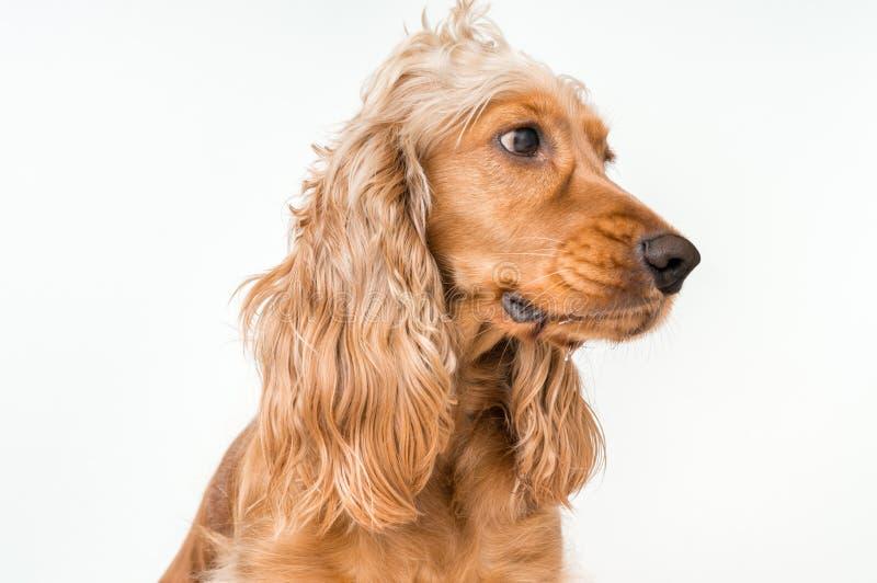 在白色隔绝的英国猎犬狗 免版税图库摄影