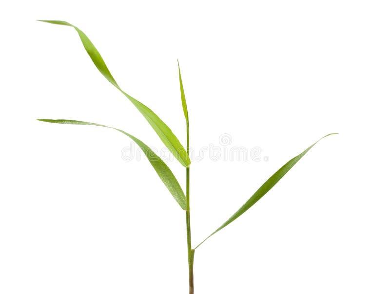 在白色隔绝的草叶 免版税库存图片