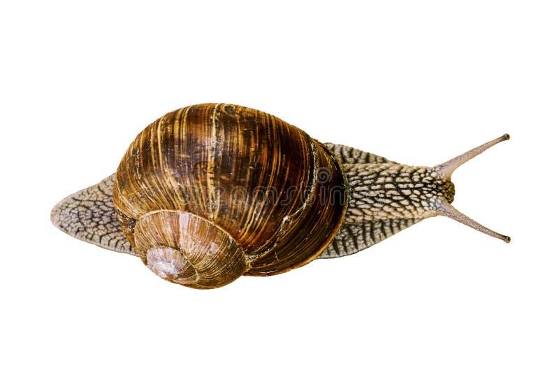 在白色隔绝的葡萄蜗牛 在视图之上 库存照片