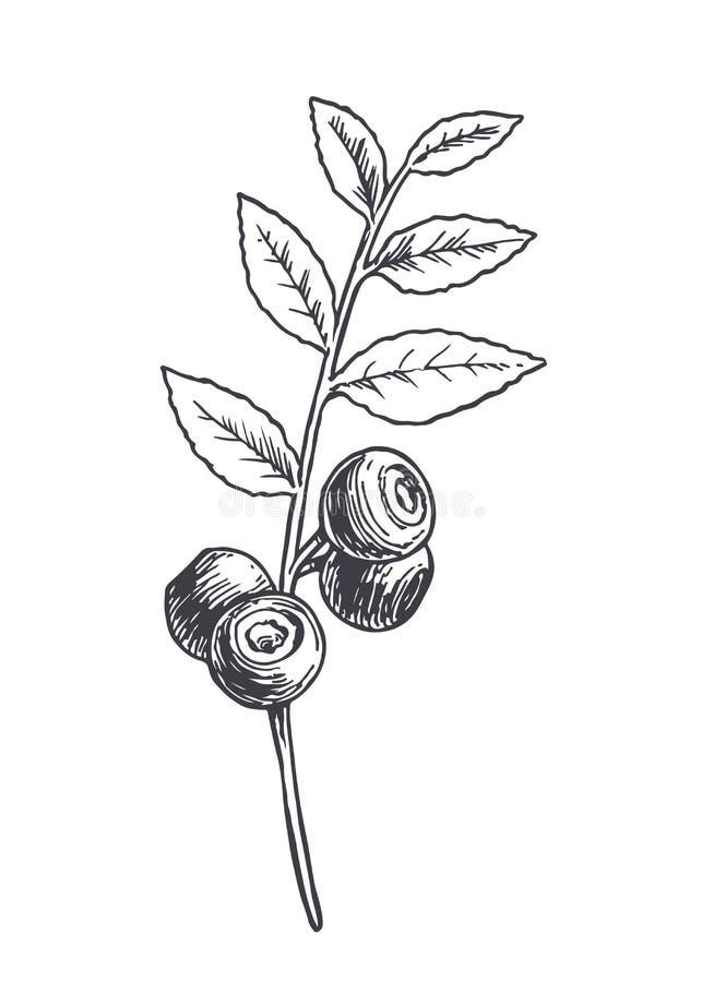 在白色隔绝的蓝莓分支的传染媒介手拉的植物的例证 夏天在刻记样式的森林莓果剪影  皇族释放例证