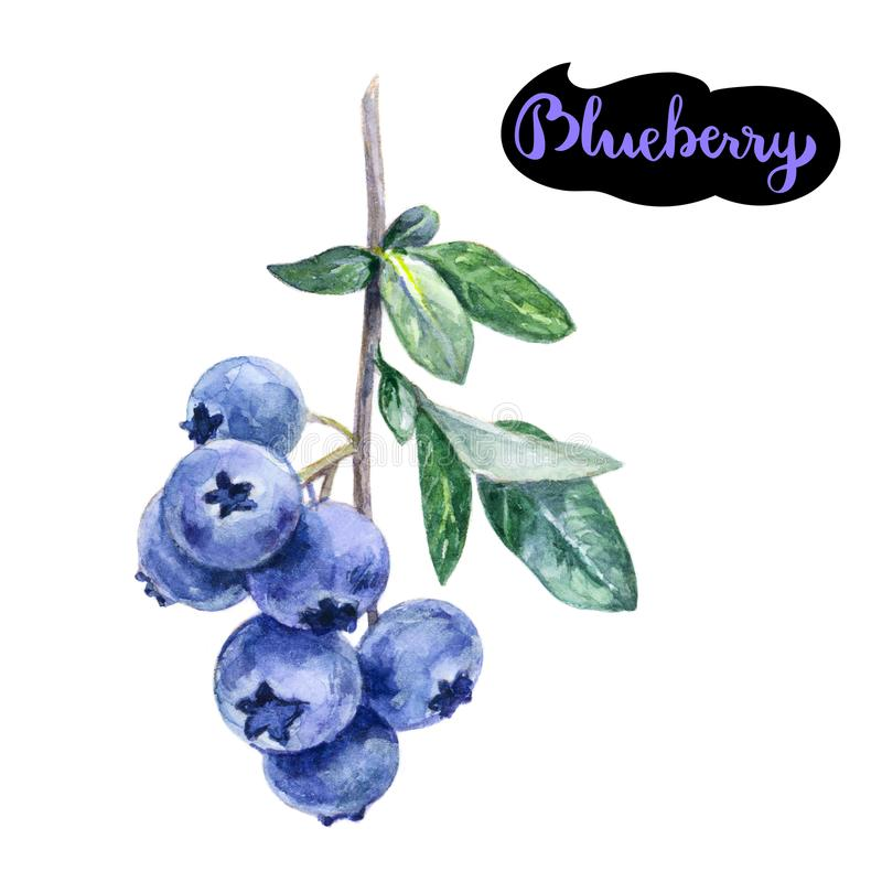 在白色隔绝的蓝莓水彩手拉的例证 向量例证